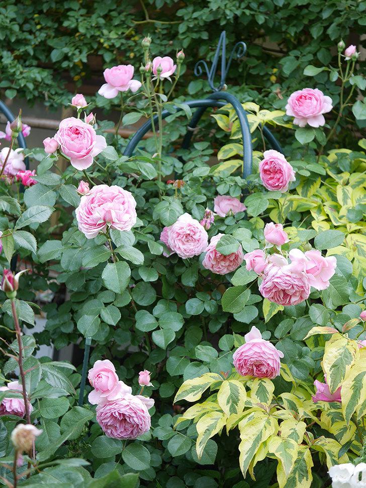 ジュビレ・アンペリアル(Jubile Imperial)の花がたくさん咲いた。半ツルバラ。2021年-108.jpg