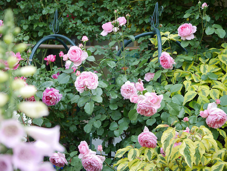ジュビレ・アンペリアル(Jubile Imperial)の花がたくさん咲いた。半ツルバラ。2021年-109.jpg