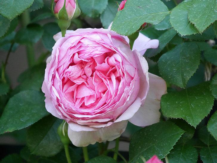 ジュビレ・アンペリアル(Jubile Imperial)の花が咲いた。半ツルバラ。2021年-019.jpg