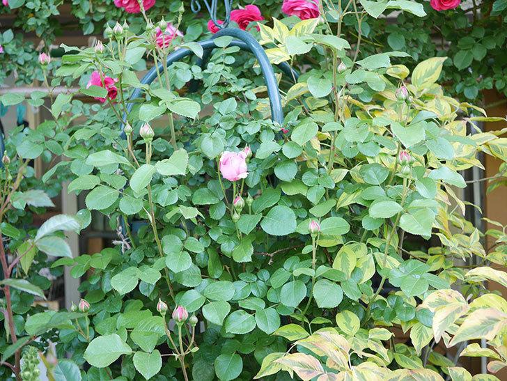 ジュビレ・アンペリアル(Jubile Imperial)の花が少し咲いた。半ツルバラ。2021年-001.jpg