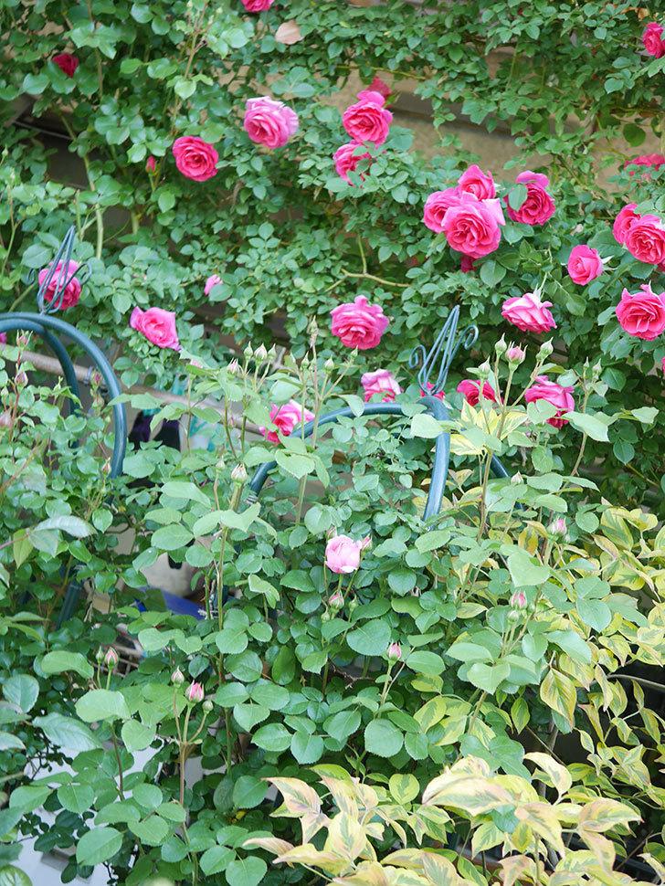 ジュビレ・アンペリアル(Jubile Imperial)の花が少し咲いた。半ツルバラ。2021年-002.jpg