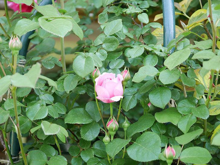ジュビレ・アンペリアル(Jubile Imperial)の花が少し咲いた。半ツルバラ。2021年-004.jpg