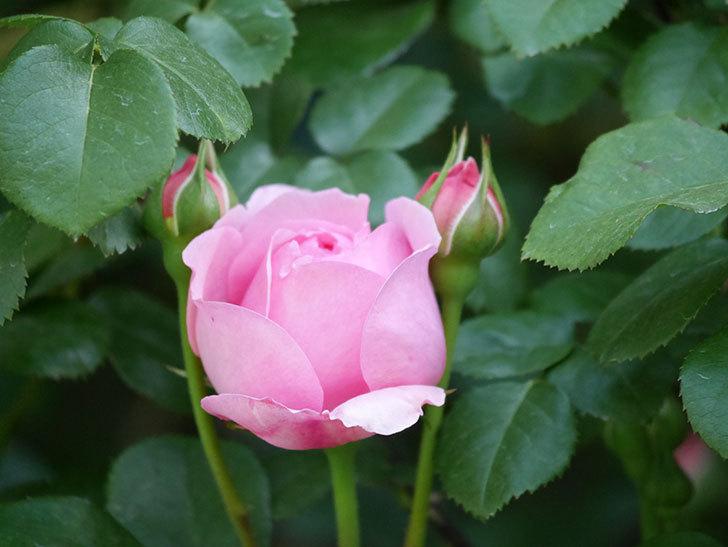 ジュビレ・アンペリアル(Jubile Imperial)の花が少し咲いた。半ツルバラ。2021年-005.jpg