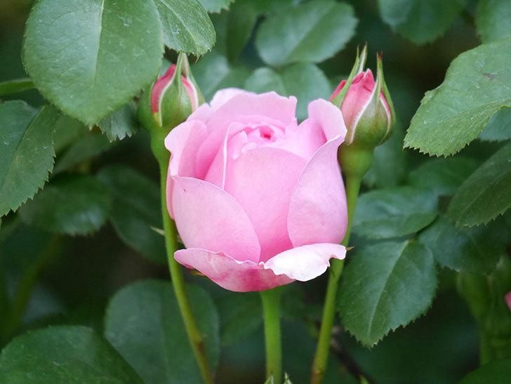 ジュビレ・アンペリアル(Jubile Imperial)の花が少し咲いた。半ツルバラ。2021年-006.jpg