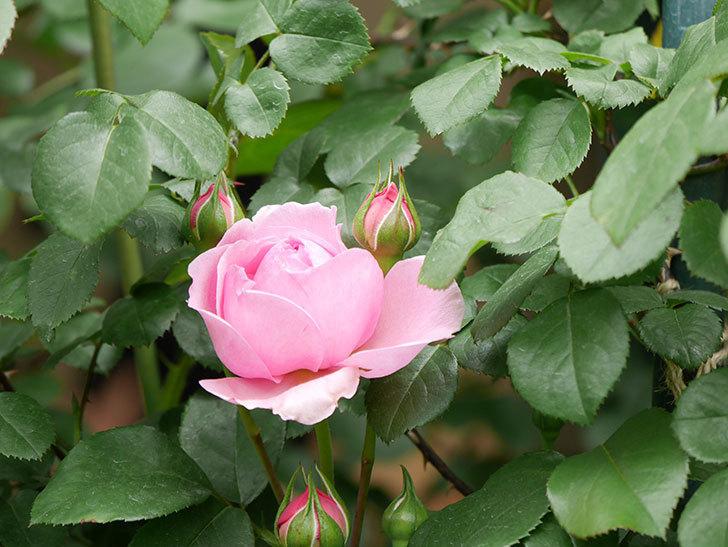 ジュビレ・アンペリアル(Jubile Imperial)の花が少し咲いた。半ツルバラ。2021年-008.jpg