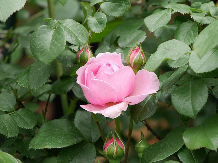 ジュビレ・アンペリアル(Jubile Imperial)の花が少し咲いた。半ツルバラ。2021年-009.jpg