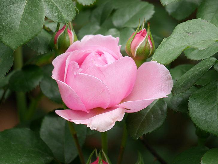ジュビレ・アンペリアル(Jubile Imperial)の花が少し咲いた。半ツルバラ。2021年-010.jpg