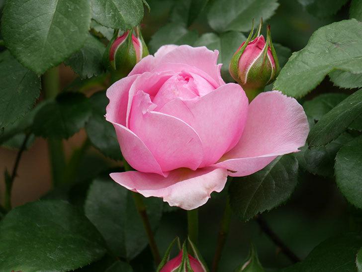 ジュビレ・アンペリアル(Jubile Imperial)の花が少し咲いた。半ツルバラ。2021年-011.jpg