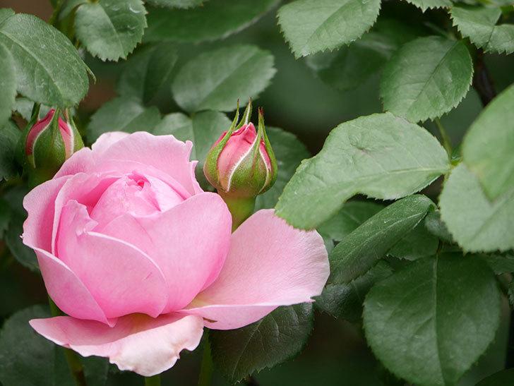 ジュビレ・アンペリアル(Jubile Imperial)の花が少し咲いた。半ツルバラ。2021年-013.jpg