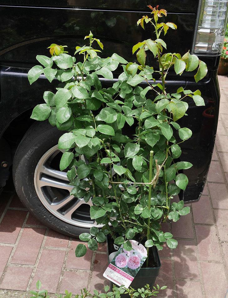 ジュビレ・アンペリアル(半ツルバラ)の大苗を楽天のバラの家で買った。2019年-1.jpg