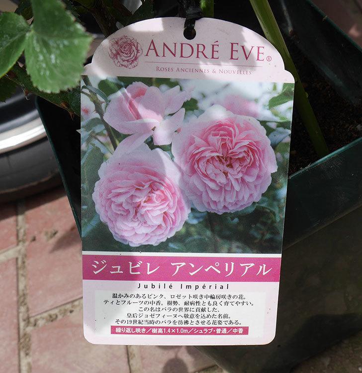 ジュビレ・アンペリアル(半ツルバラ)の大苗を楽天のバラの家で買った。2019年-4.jpg