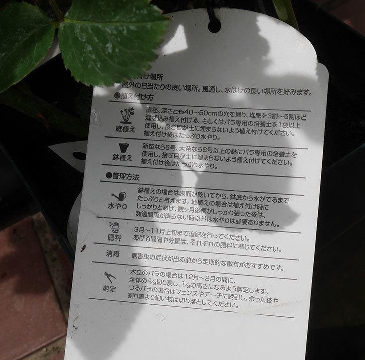 ジュビレ・アンペリアル(半ツルバラ)の大苗を楽天のバラの家で買った。2019年-5.jpg