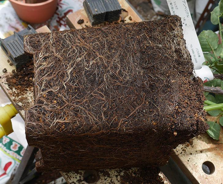 ジュビレ・アンペリアル(半ツルバラ)の大苗懸崖鉢10号に植えた。2019年-2.jpg