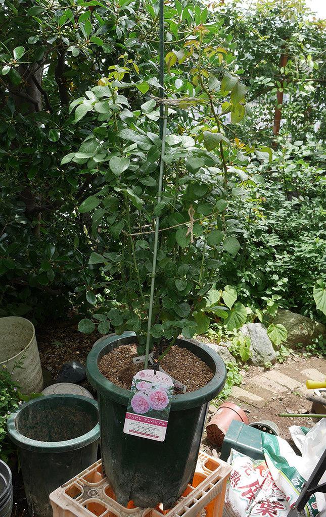 ジュビレ・アンペリアル(半ツルバラ)の大苗懸崖鉢10号に植えた。2019年-6.jpg