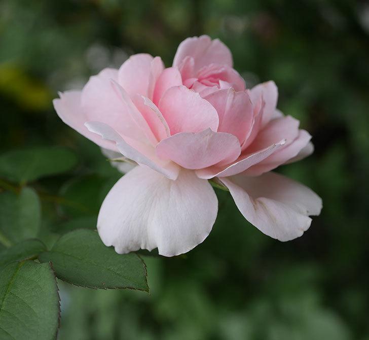 ジュビレ・アンペリアル(半ツルバラ)の秋花が咲いた。2019年-2.jpg