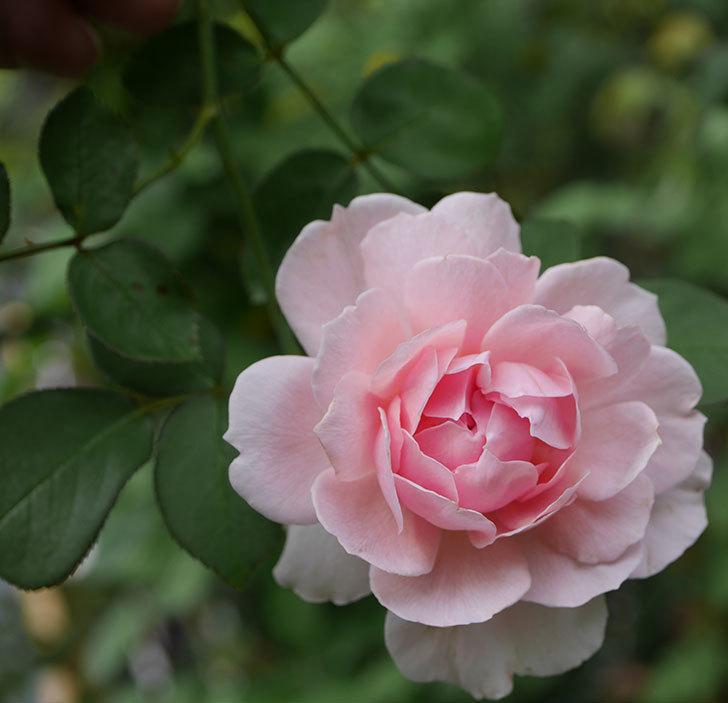 ジュビレ・アンペリアル(半ツルバラ)の秋花が咲いた。2019年-4.jpg