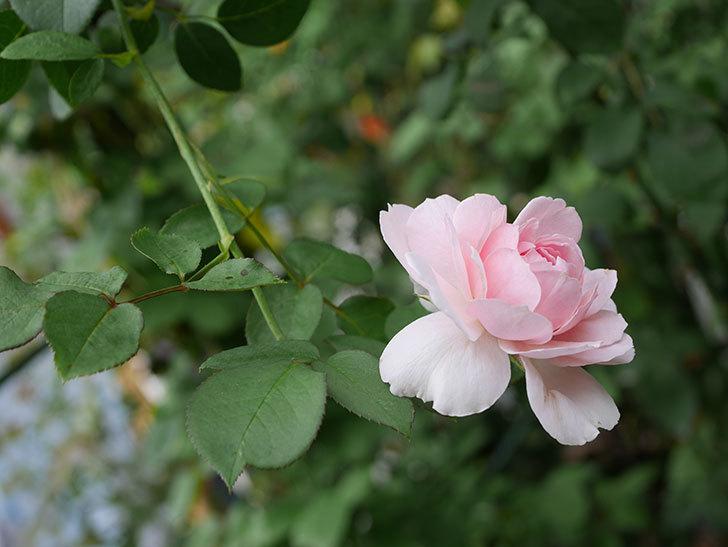 ジュビレ・アンペリアル(半ツルバラ)の秋花が咲いた。2019年-5.jpg