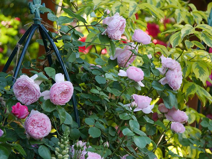 ジュビレ・アンペリアル(半ツルバラ)の花がたくさん咲いた。2020年-001.jpg