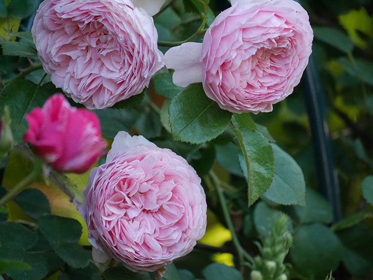 ジュビレ・アンペリアル(半ツルバラ)の花がたくさん咲いた。2020年-002.jpg