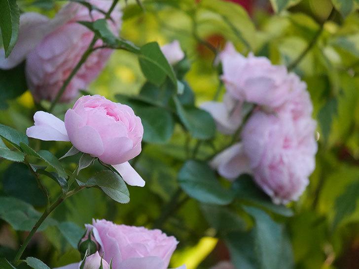 ジュビレ・アンペリアル(半ツルバラ)の花がたくさん咲いた。2020年-003.jpg