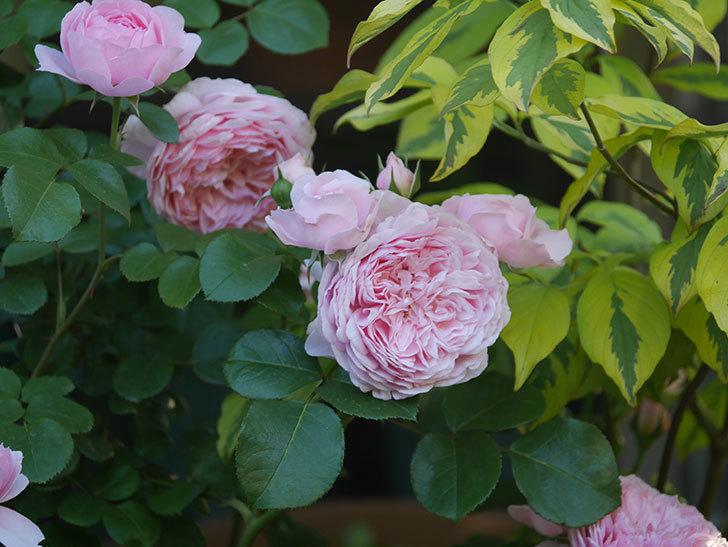 ジュビレ・アンペリアル(半ツルバラ)の花がたくさん咲いた。2020年-005.jpg