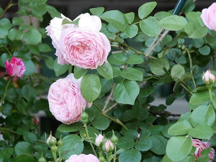 ジュビレ・アンペリアル(半ツルバラ)の花がたくさん咲いた。2020年-006.jpg