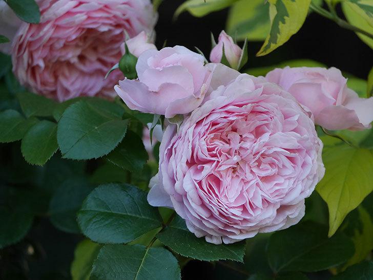 ジュビレ・アンペリアル(半ツルバラ)の花がたくさん咲いた。2020年-007.jpg