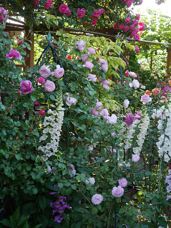 ジュビレ・アンペリアル(半ツルバラ)の花がたくさん咲いた。2020年-008.jpg