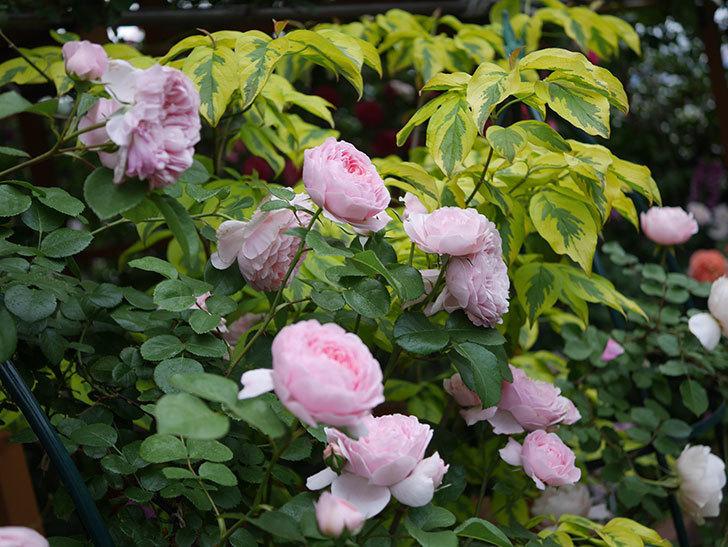 ジュビレ・アンペリアル(半ツルバラ)の花がたくさん咲いた。2020年-011.jpg