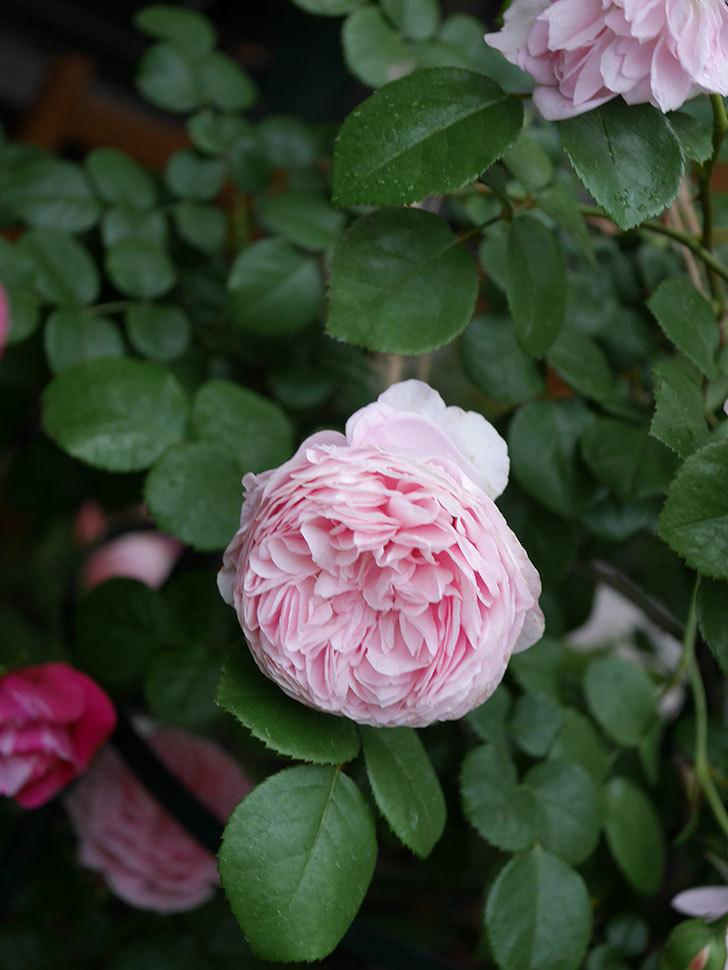 ジュビレ・アンペリアル(半ツルバラ)の花がたくさん咲いた。2020年-012.jpg