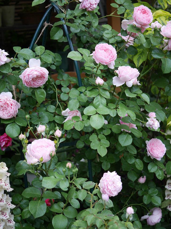 ジュビレ・アンペリアル(半ツルバラ)の花がたくさん咲いた。2020年-015.jpg