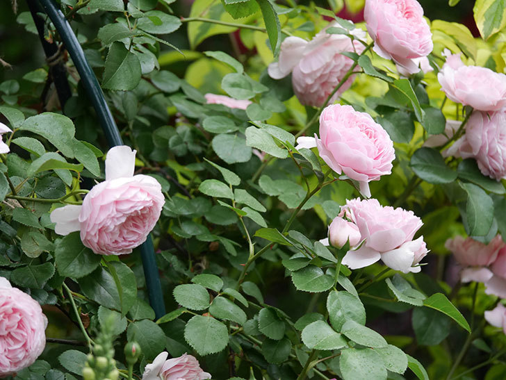 ジュビレ・アンペリアル(半ツルバラ)の花がたくさん咲いた。2020年-017.jpg