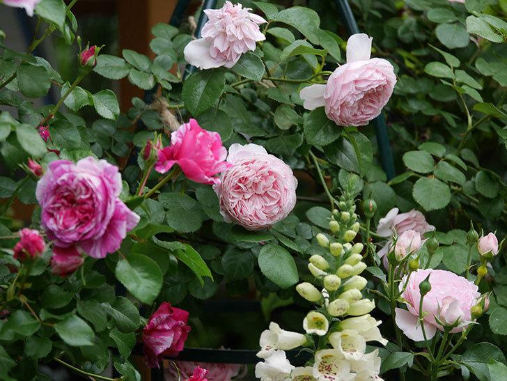 ジュビレ・アンペリアル(半ツルバラ)の花がたくさん咲いた。2020年-018.jpg