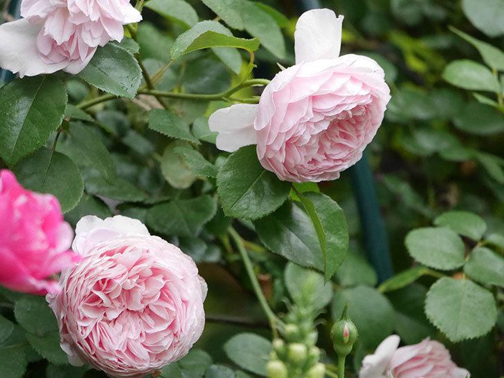 ジュビレ・アンペリアル(半ツルバラ)の花がたくさん咲いた。2020年-019.jpg