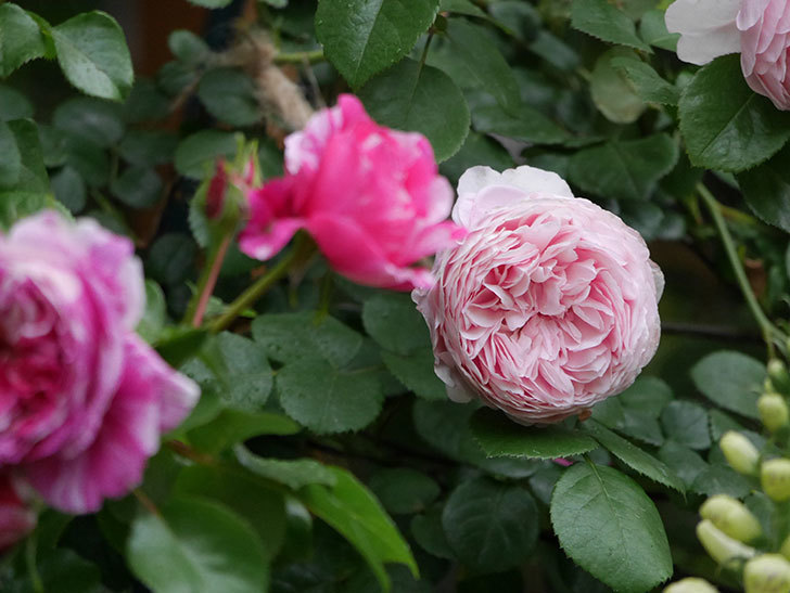 ジュビレ・アンペリアル(半ツルバラ)の花がたくさん咲いた。2020年-020.jpg