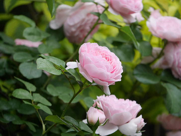 ジュビレ・アンペリアル(半ツルバラ)の花がたくさん咲いた。2020年-021.jpg