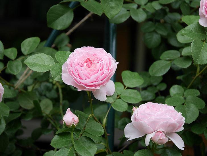 ジュビレ・アンペリアル(半ツルバラ)の花がたくさん咲いた。2020年-023.jpg