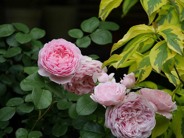 ジュビレ・アンペリアル(半ツルバラ)の花がたくさん咲いた。2020年-024.jpg
