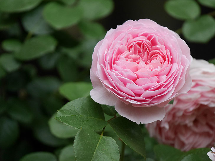 ジュビレ・アンペリアル(半ツルバラ)の花がたくさん咲いた。2020年-025.jpg