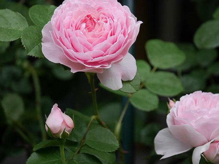 ジュビレ・アンペリアル(半ツルバラ)の花がたくさん咲いた。2020年-026.jpg