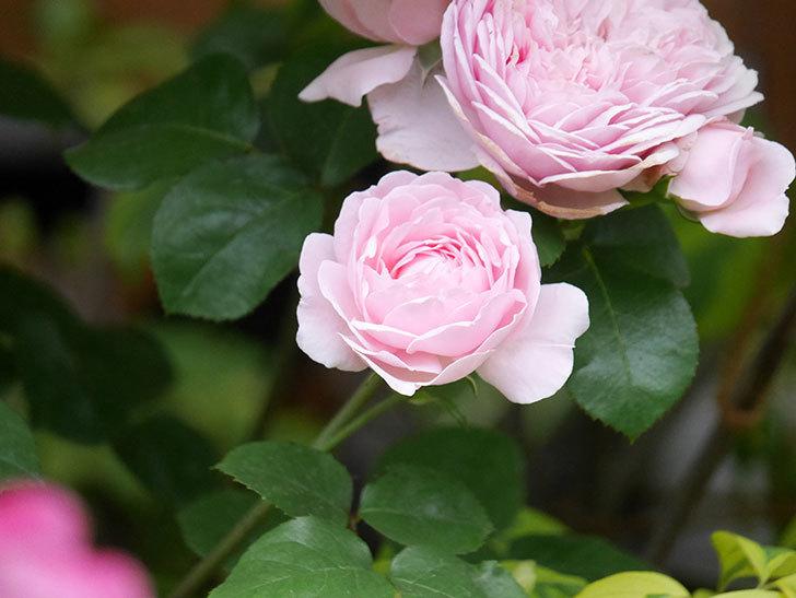 ジュビレ・アンペリアル(半ツルバラ)の花がたくさん咲いた。2020年-027.jpg