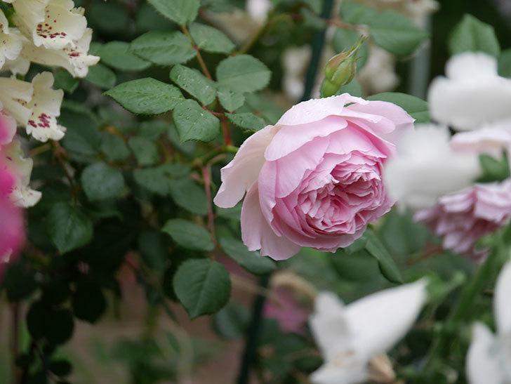 ジュビレ・アンペリアル(半ツルバラ)の花がたくさん咲いた。2020年-028.jpg