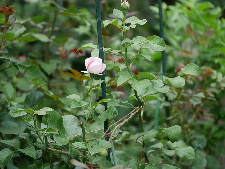 ジュビレ・アンペリアル(半ツルバラ)の花が咲いた。2019年-3.jpg