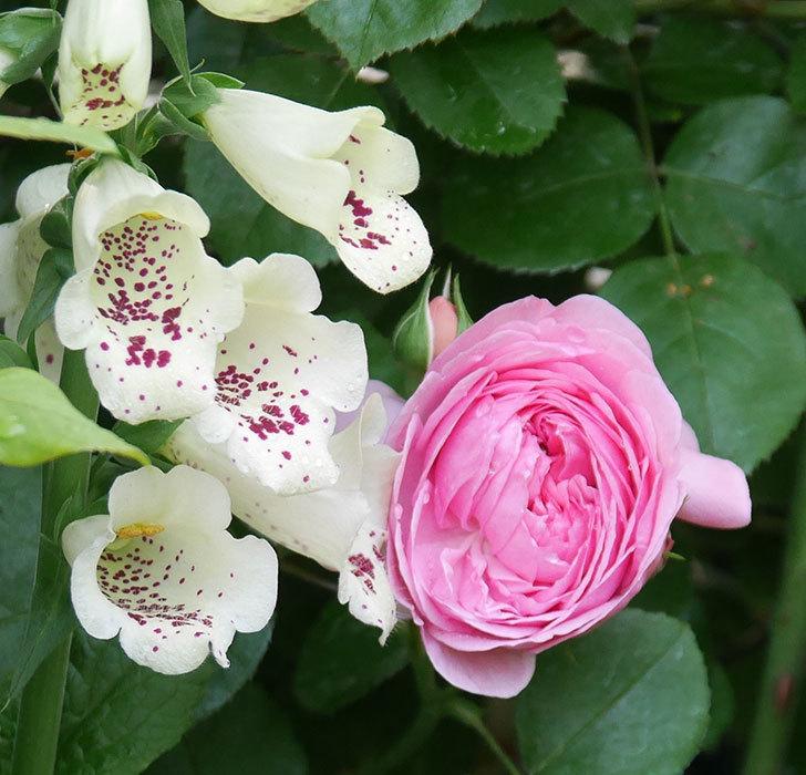 ジュビレ・アンペリアル(半ツルバラ)の花が咲いた。2020年-1.jpg