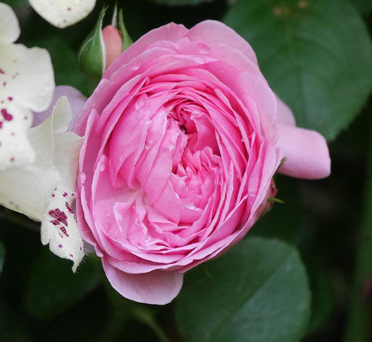 ジュビレ・アンペリアル(半ツルバラ)の花が咲いた。2020年-2.jpg