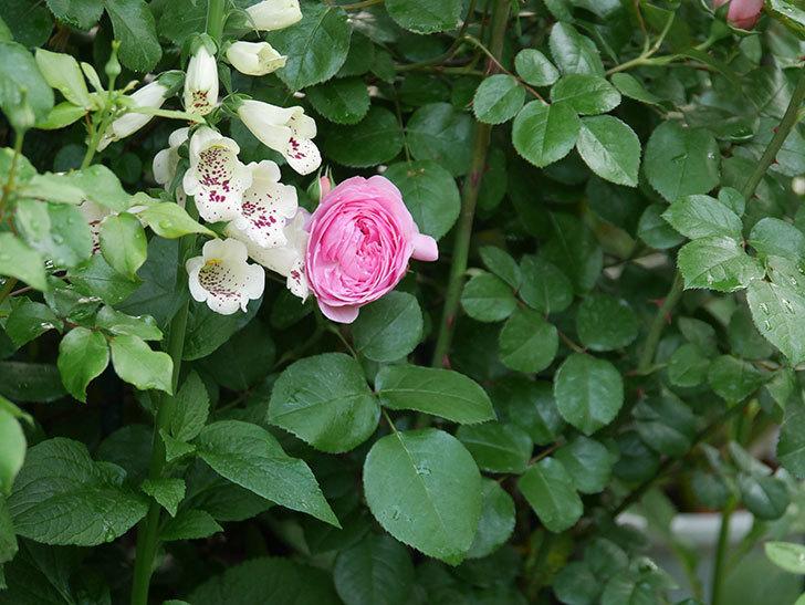 ジュビレ・アンペリアル(半ツルバラ)の花が咲いた。2020年-3.jpg
