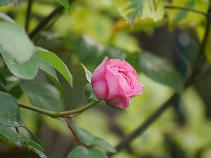 ジュビレ・アンペリアル(半ツルバラ)の花が咲いた。2020年-4.jpg