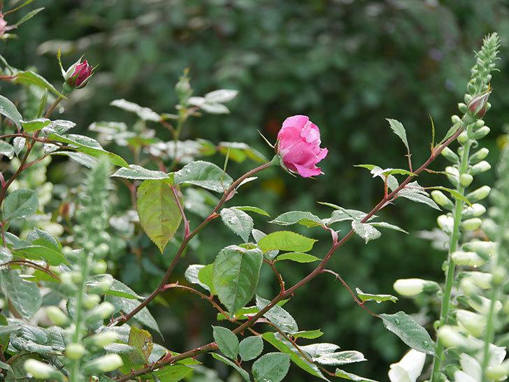 ジュビレ・アンペリアル(半ツルバラ)の花が咲いた。2020年-5.jpg