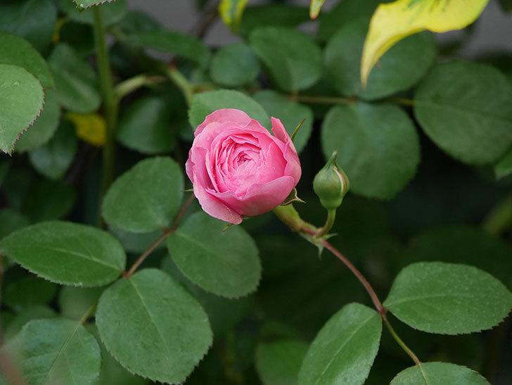 ジュビレ・アンペリアル(半ツルバラ)の花が咲いた。2020年-7.jpg