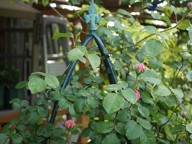 ジュビレ・アンペリアル(半ツルバラ)の花が咲いた。2020年-8.jpg